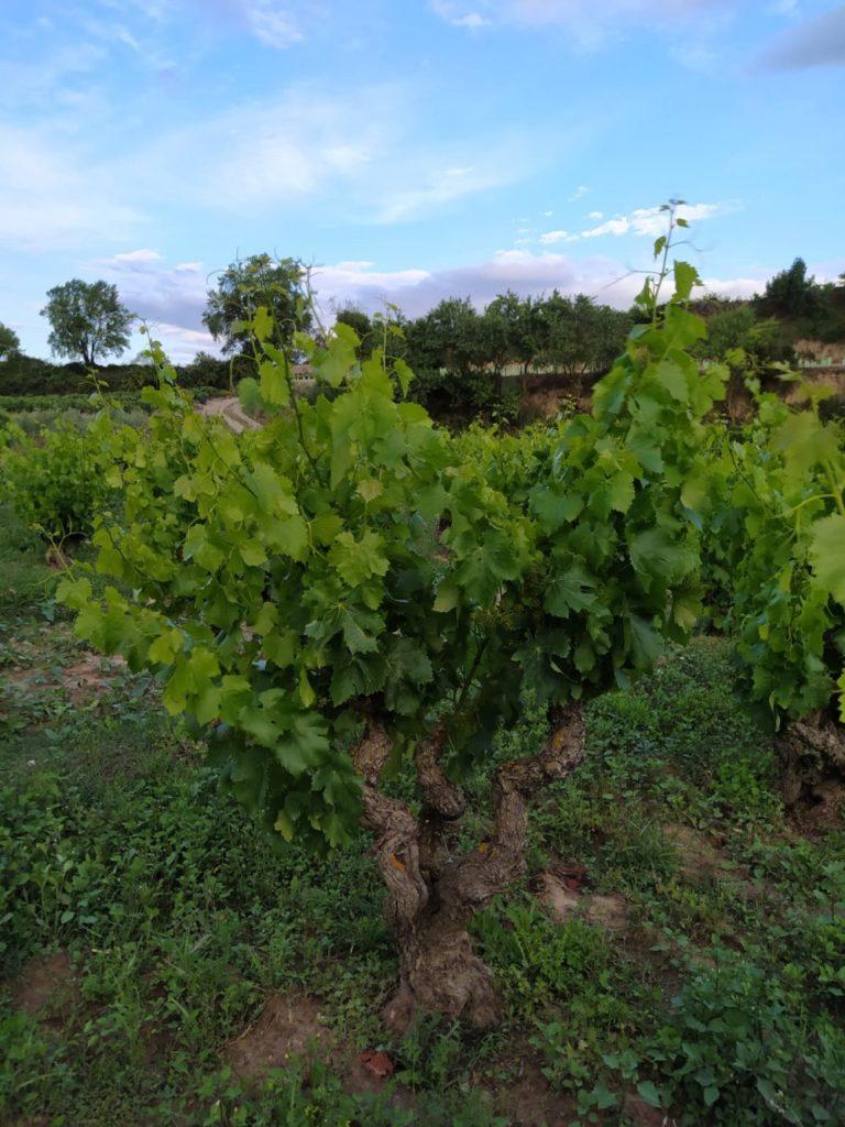 Cuidando la viña en primavera: espergura, despunte y desniete 3