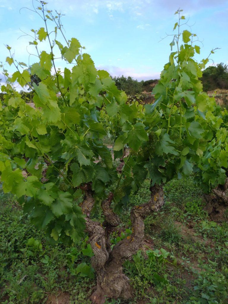 Cuidando la viña en primavera: espergura, despunte y desniete 4