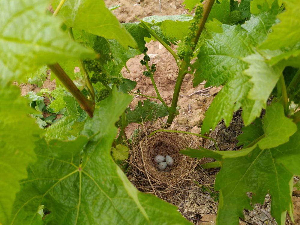 Cuidando la viña en primavera: espergura, despunte y desniete 2
