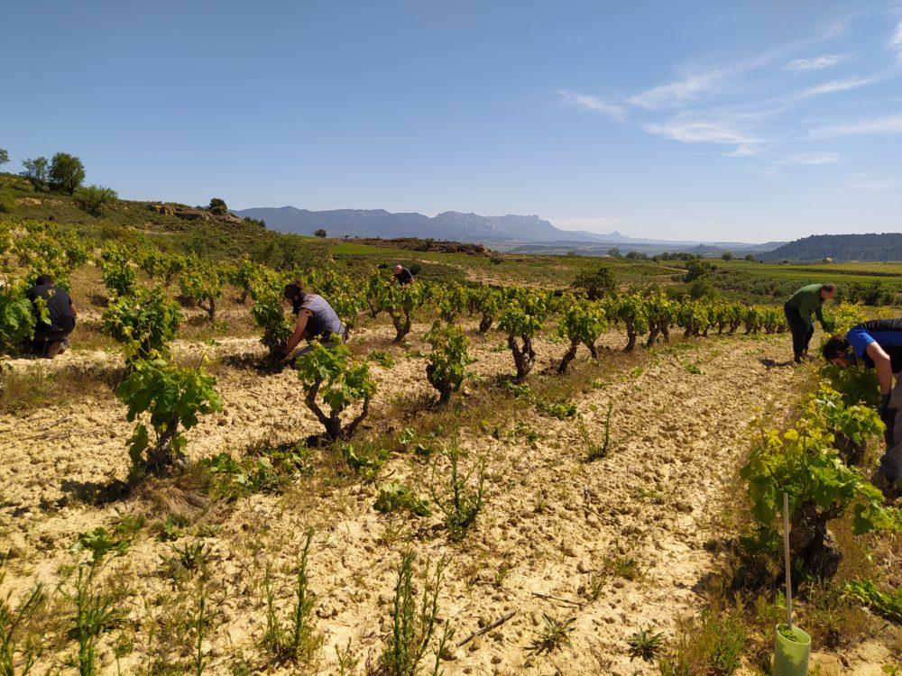 Cuidando la viña en primavera: espergura, despunte y desniete 1